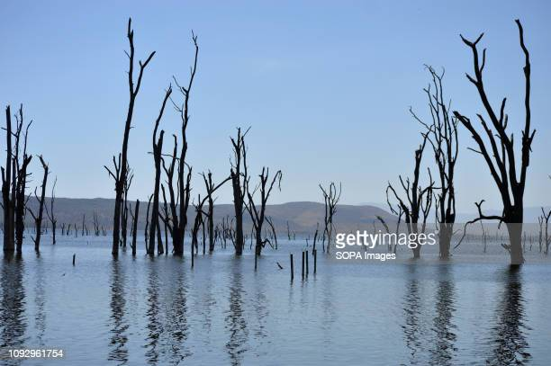 PARK NAKURU RIFTVALLEY KENYA Dry acacia trees are seen in the flooded section of Lake Nakuru National Park during the world wetlands day The Lake...
