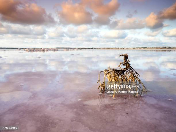 Dry and dead shrub for the climate and the water, sunset with orange clouds reflected over calm water of a salty lake with pink background in salt mines of Torrevieja, Alicante, Spain