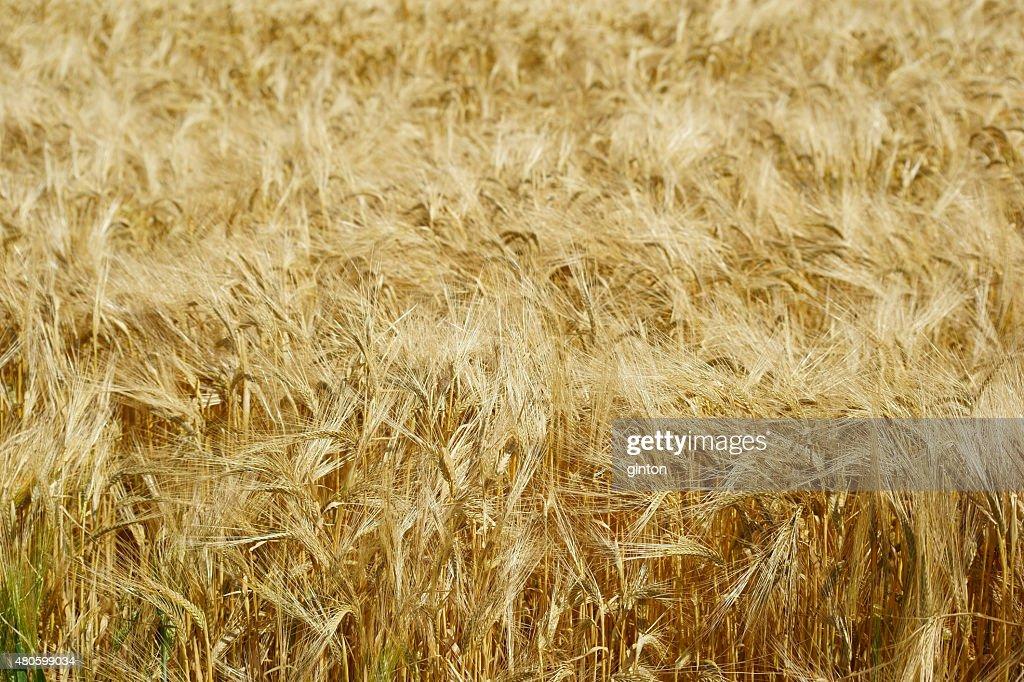 Dry barley : Stock Photo