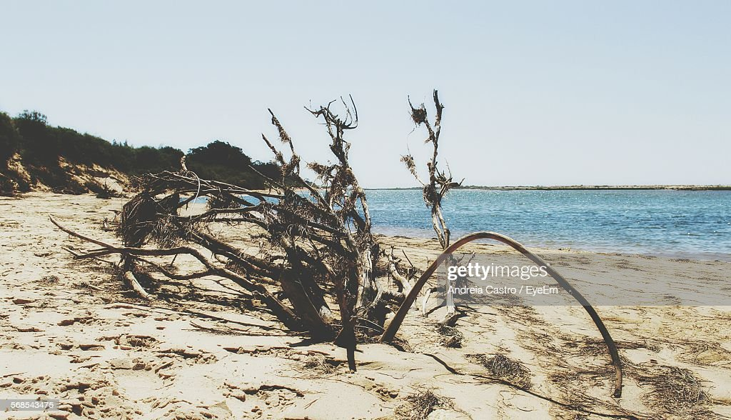 Dry Branches On Sea Shore At Beach Against Clear Sky : Stock Photo