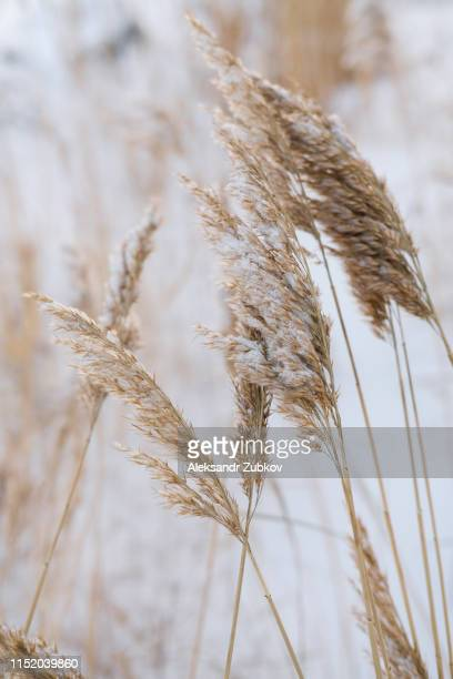 dry coastal reed cowered with snow, vertical nature background - reed grass family stock photos and pictures