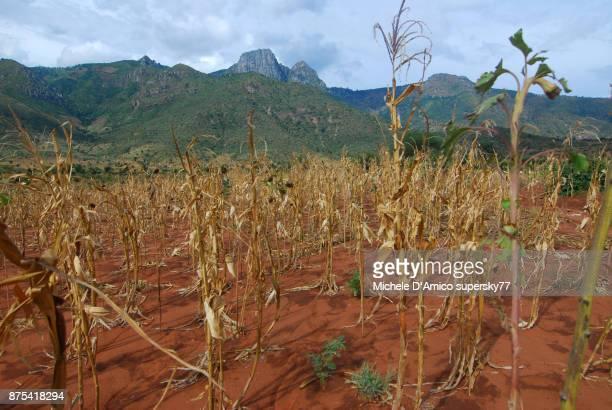 dry corn crops below the pare mountains - sequía fotografías e imágenes de stock