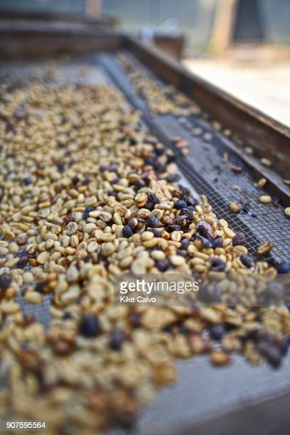 Dry Costa Rican coffee seeds of the arabic variety
