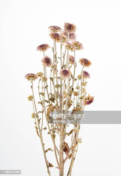 dry daisy - wildflower stock pictures, royalty-free photos & images