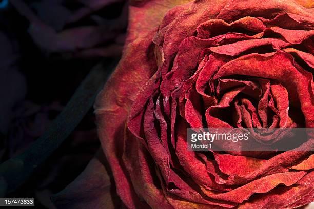 secar muertos rose - dead rotten fotografías e imágenes de stock