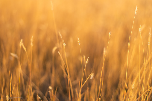 dry fescue grass field at sunset 1066044282