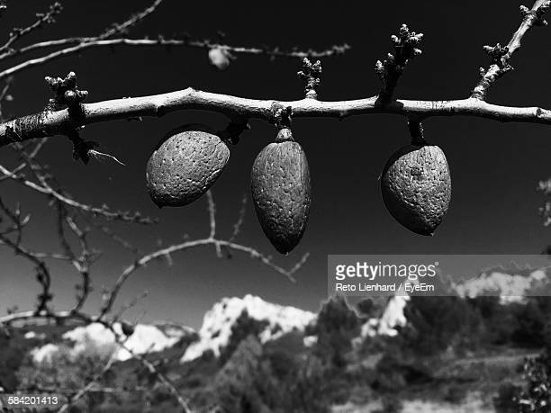 dry fruit hanging from tree - lienhard stock pictures, royalty-free photos & images