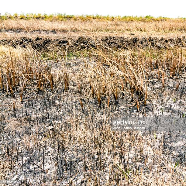 Dry Grass after a Brushfire