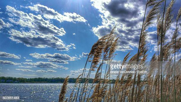 dry grass in wind against lake - mcconnell stock pictures, royalty-free photos & images