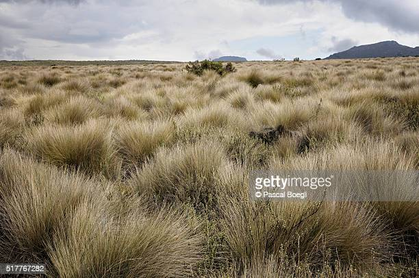 Dry grass on Shira Plateau, Kilimanjaro National Park, Lemosho trail