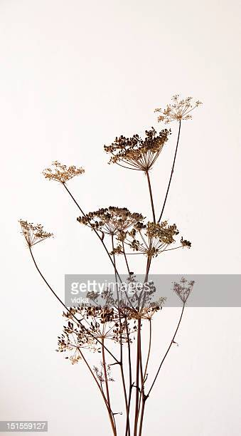 dry hogweed flowers - wilted plant stock pictures, royalty-free photos & images