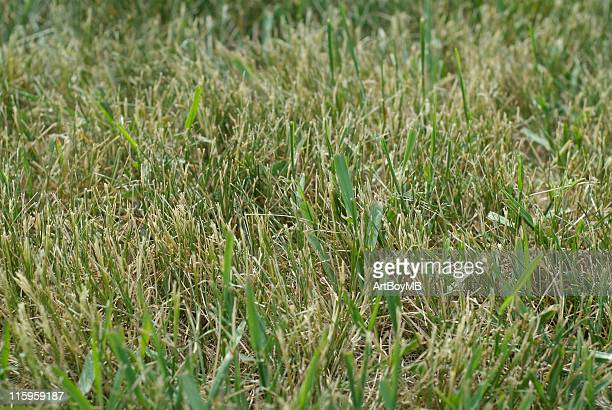 dry lawn - crabgrass stock pictures, royalty-free photos & images