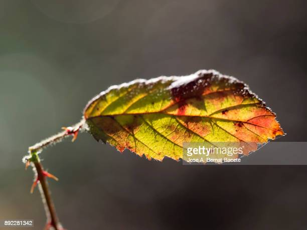 Dry leaf of blackberry (bramble) in autumn, of several colors, outdoors illuminated by the light of the Sun. Natural park of the Sierra Mariola in Bocairent, Valencia, Spain.