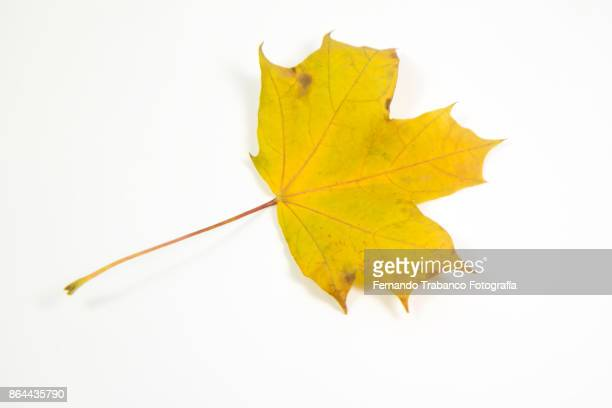 Dry leaf on white background