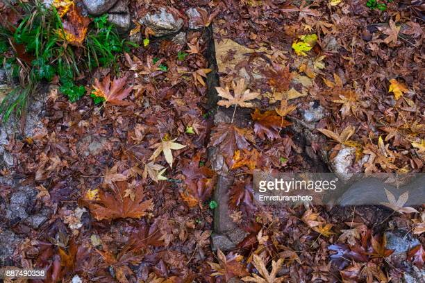 dry leaves on footpath with tree roots. - emreturanphoto stock pictures, royalty-free photos & images