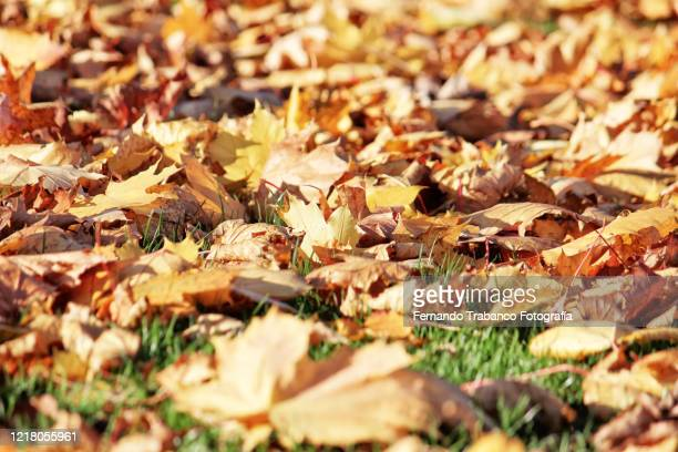 dry leaves - mort description physique photos et images de collection
