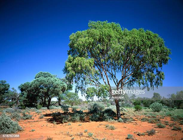 Dry low open woodland with Leopardwood tree Flindersia maculosa and Gidgee Acacia cambagei with a shrub layer of Eremophila sp and chenopod ground...