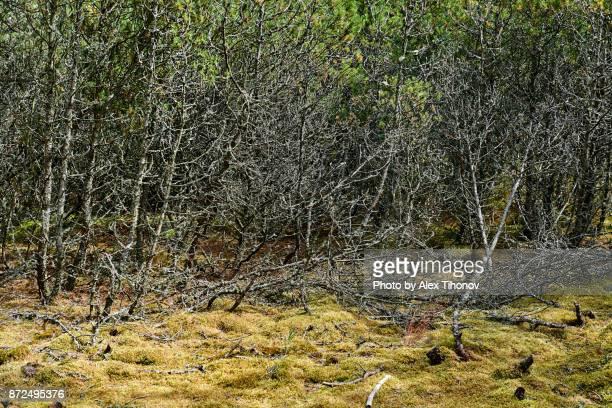 Dry pine trees