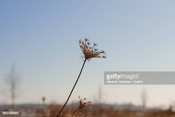 dry plant on field against clear sky - albrecht schlotter stock photos and pictures