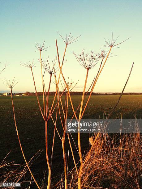 dry plants on field - malton stock pictures, royalty-free photos & images