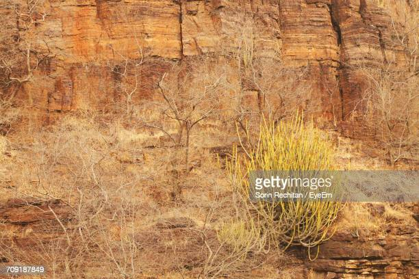 Dry Plants On Rocky Mountain At Ranthambore National Park