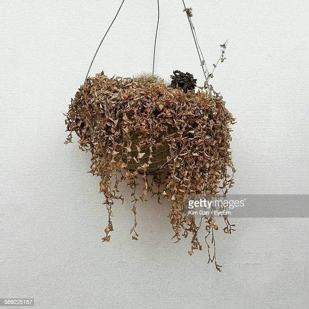 Dry Potted Plant Hanging Against White Wall