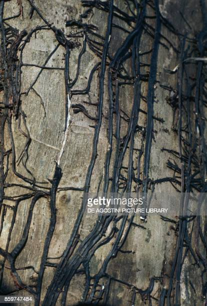 Dry rot caused by a honey mushroom mycelium on a poplar trunk