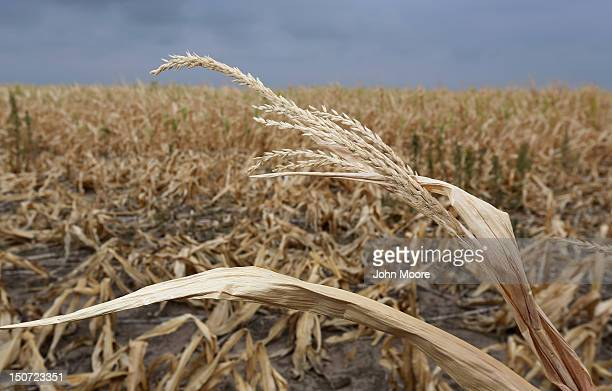 Dry stalks of corn ravaged by drought stand in a failed corn field on August 24 2012 near Colby Kansas Most of Kansas is still in extreme or...