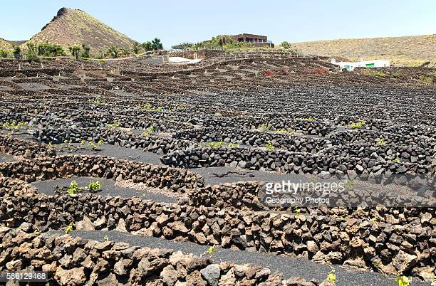 Dry stone walls and grapevines in sheltered enclosures near Orzola Lanzarote Canary Islands Spain La Quemada de Orzola volcano