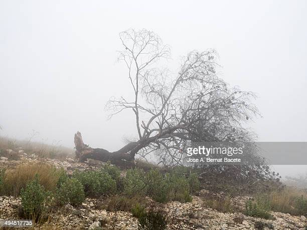 Dry tree uprooted by a storm of wind, a foggy day.