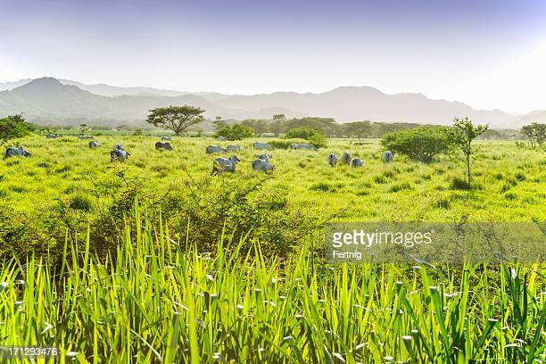 dry tropical savannah in guanacaste, costa rica - guanacaste stock pictures, royalty-free photos & images