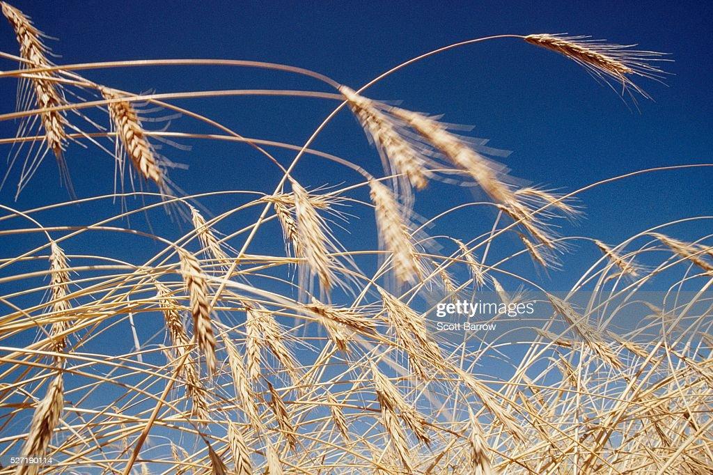Dry wheat : Stock Photo