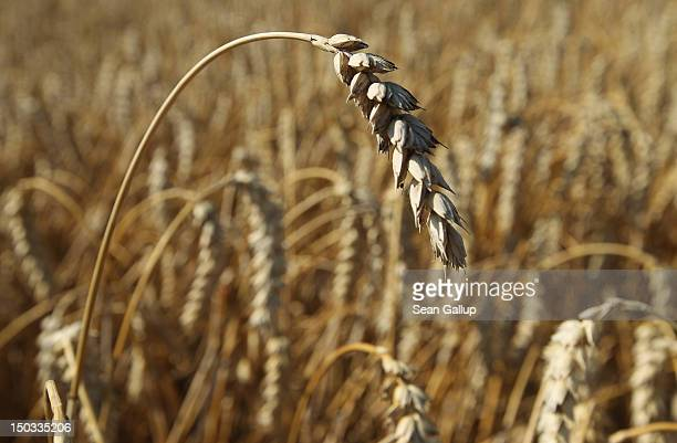Dry wheat ready for harvest stands in a field on August 15 2012 near Selbitz Germany Selbitz lies in the Upper Franconia region of northern Bavaria...