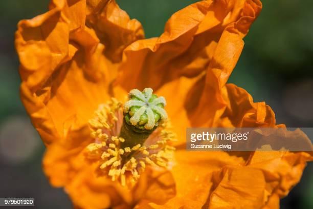 Dry yellow poppy