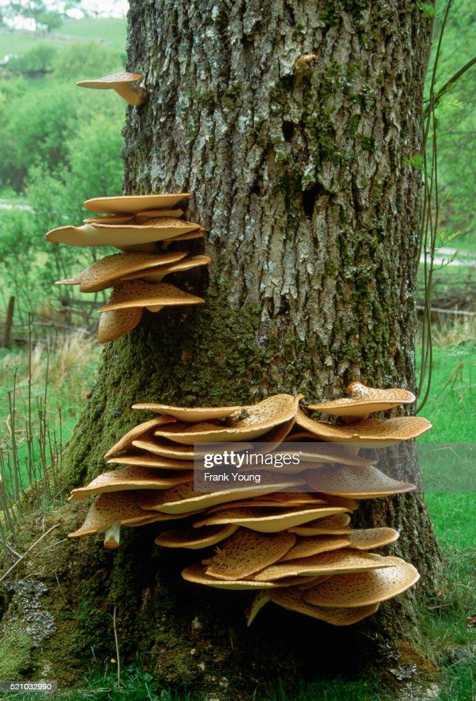 dryads saddle fungus stock photo getty images