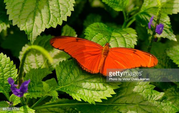 dryas iulia butterfly. commonly called the julia butterfly, julia heliconian, the flame, or flambeau - victor ovies fotografías e imágenes de stock