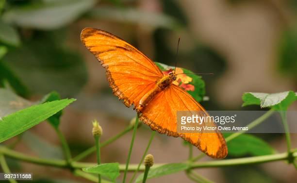 dryas julia butterfly on a flower. - victor ovies fotografías e imágenes de stock