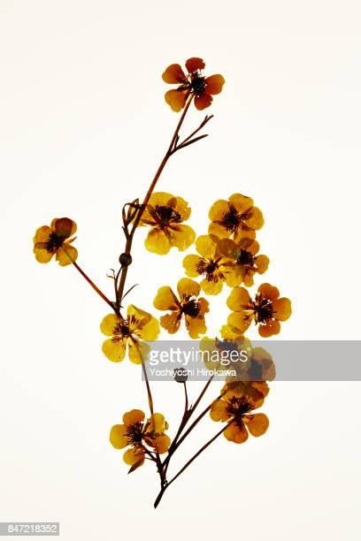 dryflower - dried plant stock pictures, royalty-free photos & images