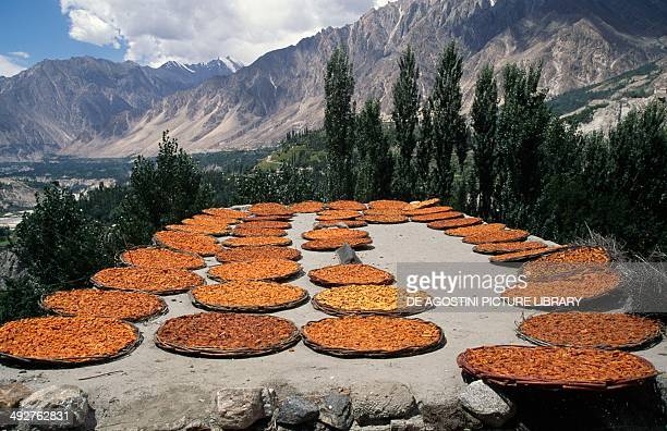 Drying apricots Hunza valley Pakistan