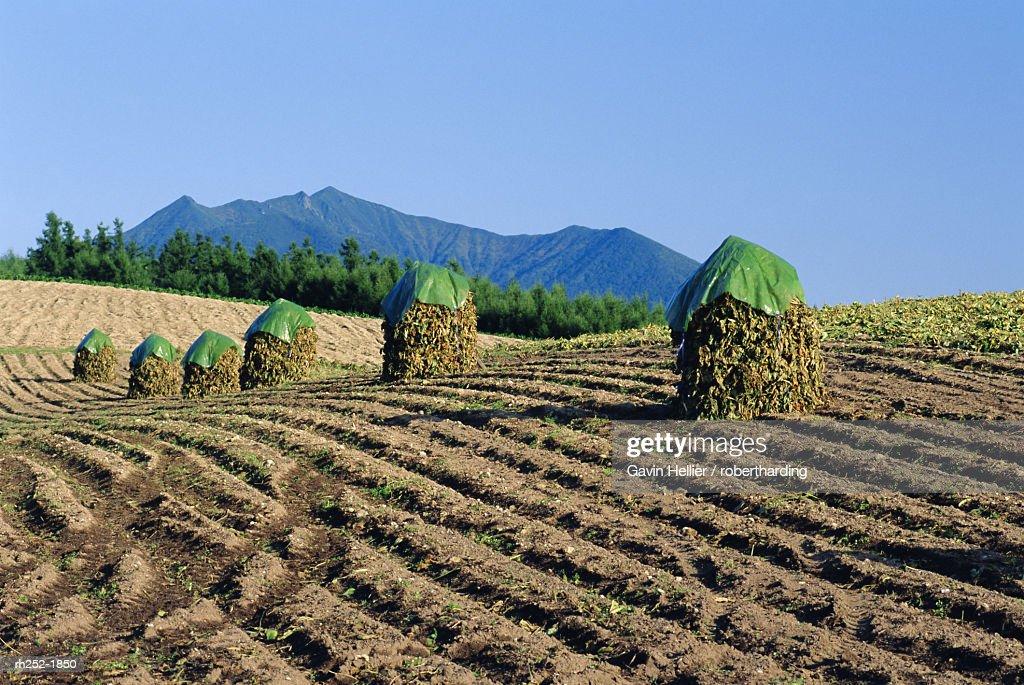 Drying beans, Hokkaido, Japan : Foto de stock
