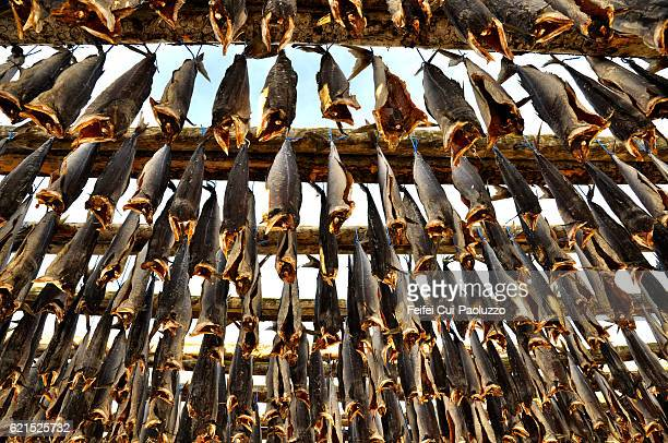 Drying fish at Saudarkrokur, Northwest of Iceland