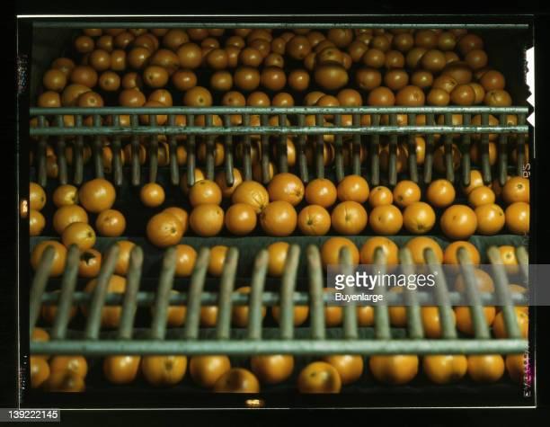 Drying oranges at a coop orange packing plant Redlands Calif 1943
