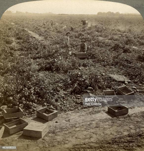 Drying raisins Fresno San Joaquin Valley California USA Stereoscopic card detail
