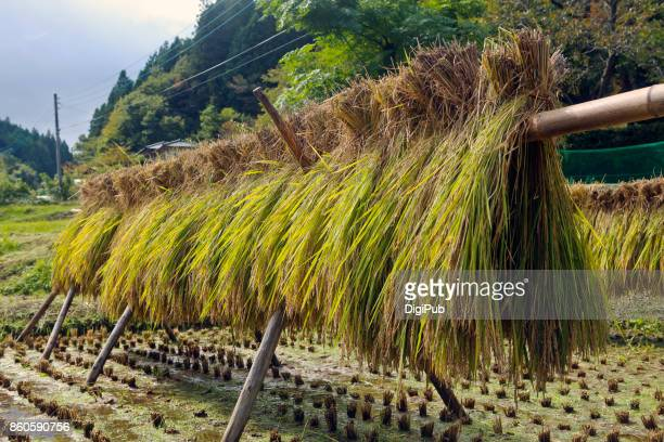 drying rice in the rice paddy - 茨城県 ストックフォトと画像