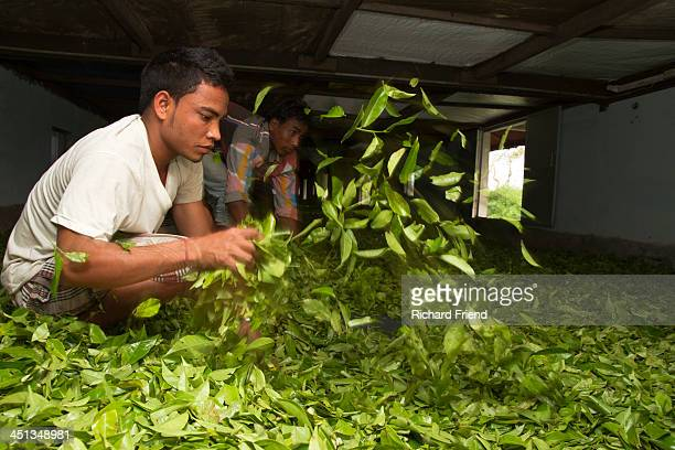 CONTENT] Drying tea in Assam India Working on long benches the freshly picked leaves of tea are hand turned as part of the curing process