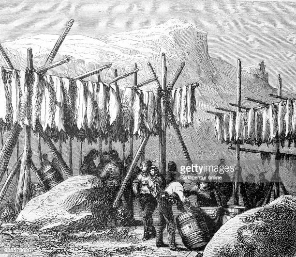 Drying the cod fish on Newfoundland country America reproduction of a woodcut from 1882 digital improved