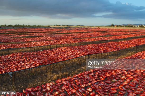 drying tomatoes - north africa stock pictures, royalty-free photos & images