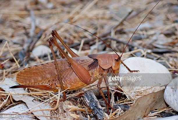 drymadusa limbata grandis - cricket insect stock photos and pictures