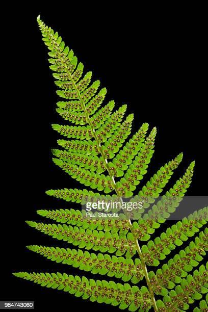 Dryopteris filix-mas (male fern, male woodfern, malefern) - sori (sporangia, spores) on a fertile leaf (frond)