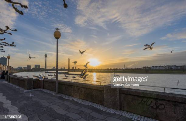 düsseldorf rhine panorama at sunset with flying seagulls - dämmerung stock pictures, royalty-free photos & images
